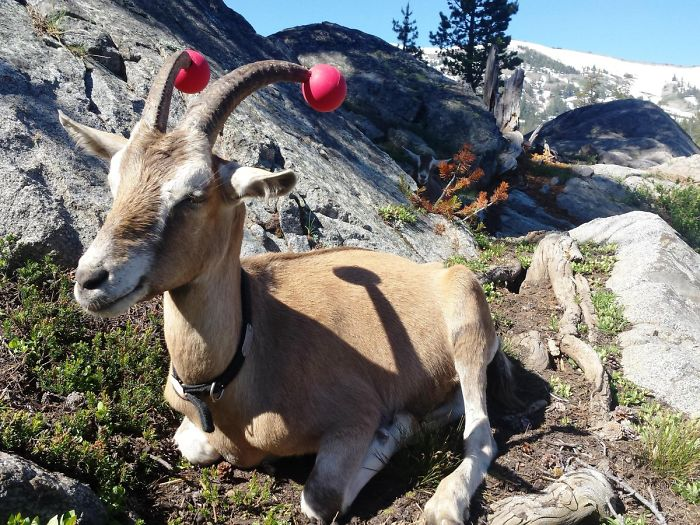 goats with pool noodles on their horns for safety