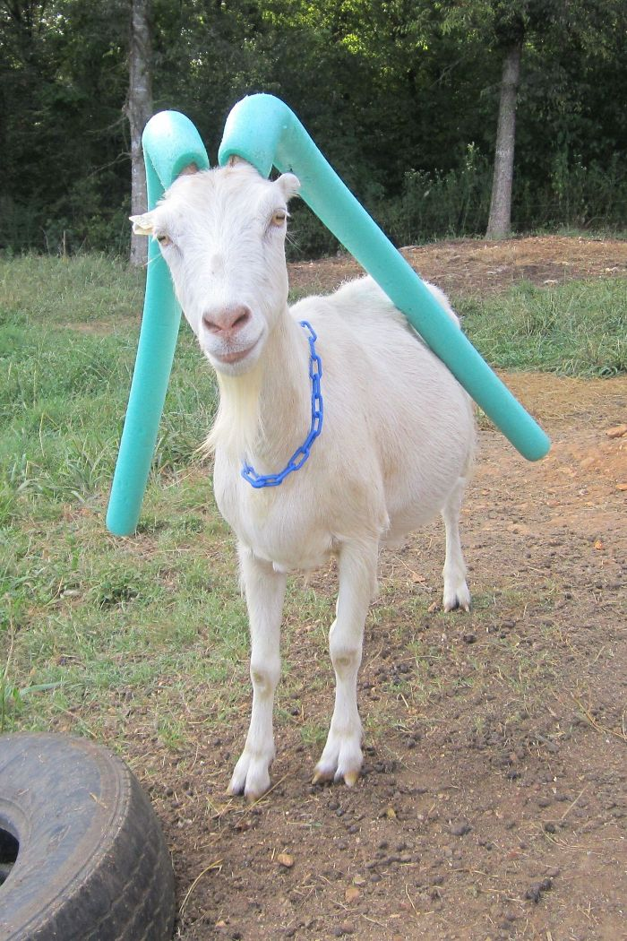 goats with pool noodles on their horns light blue