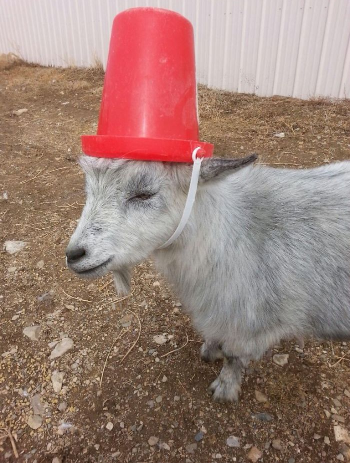 goats with pool noodles on their horns pail