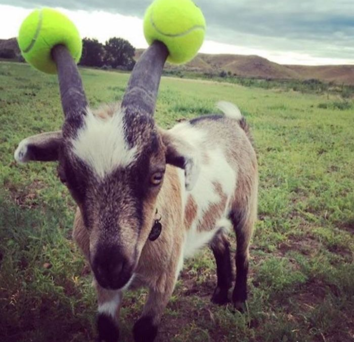 goats with pool noodles on their horns tennis ball