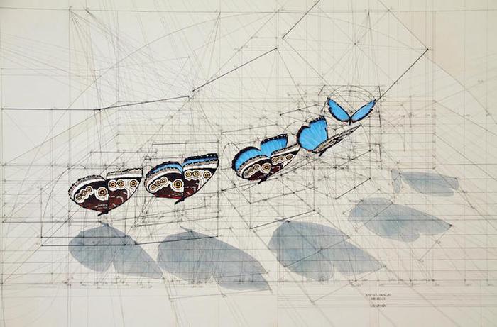 golden ratio illustrations blue morpho sequence