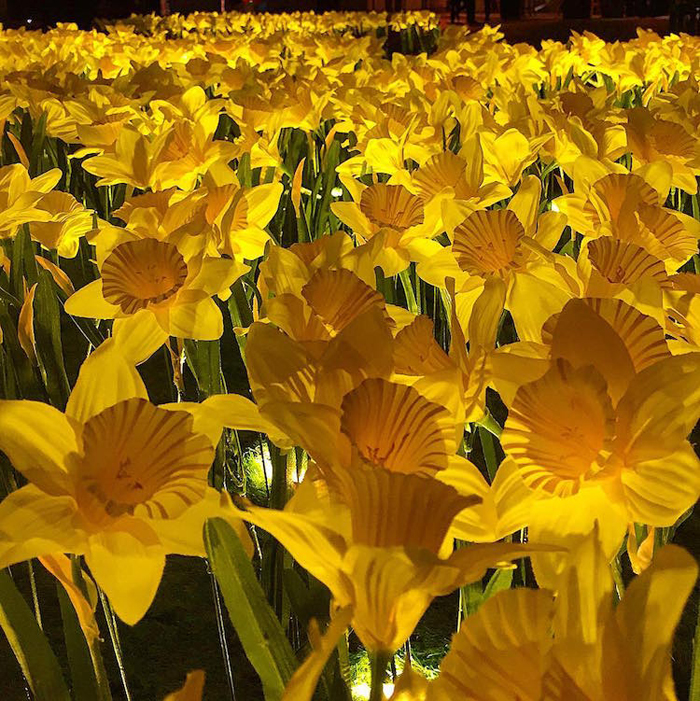 illuminated daffodils art installation