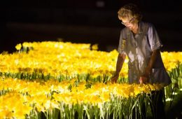 illuminated daffodils garden of light