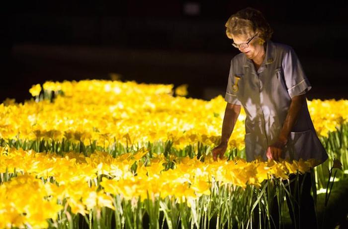 illuminated daffodils garden of light