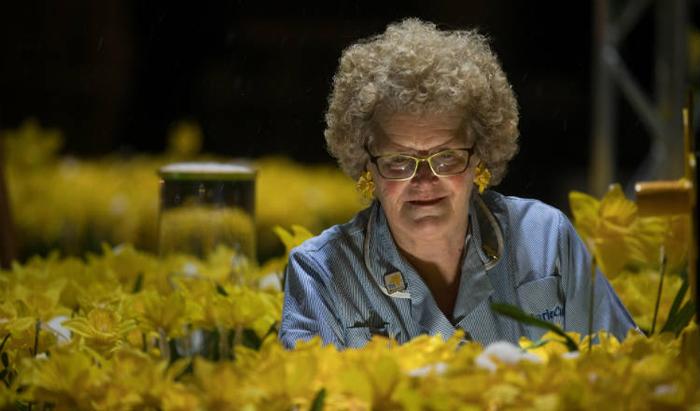 illuminated daffodils marie curie nurses