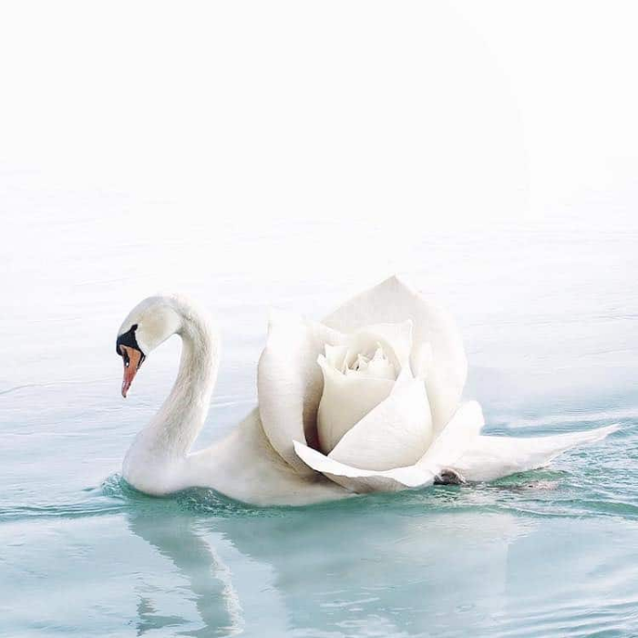swan flower surrealism photography luisa azevedo