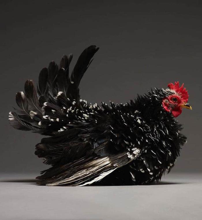 tranchellini monti chicken photobook black spikes