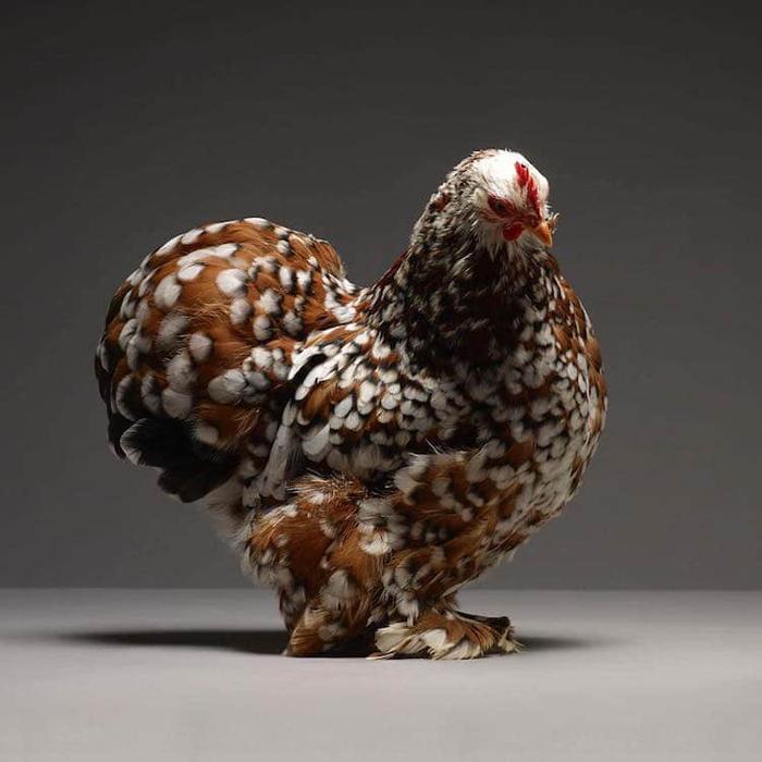 tranchellini monti chicken photobook copper white patterns