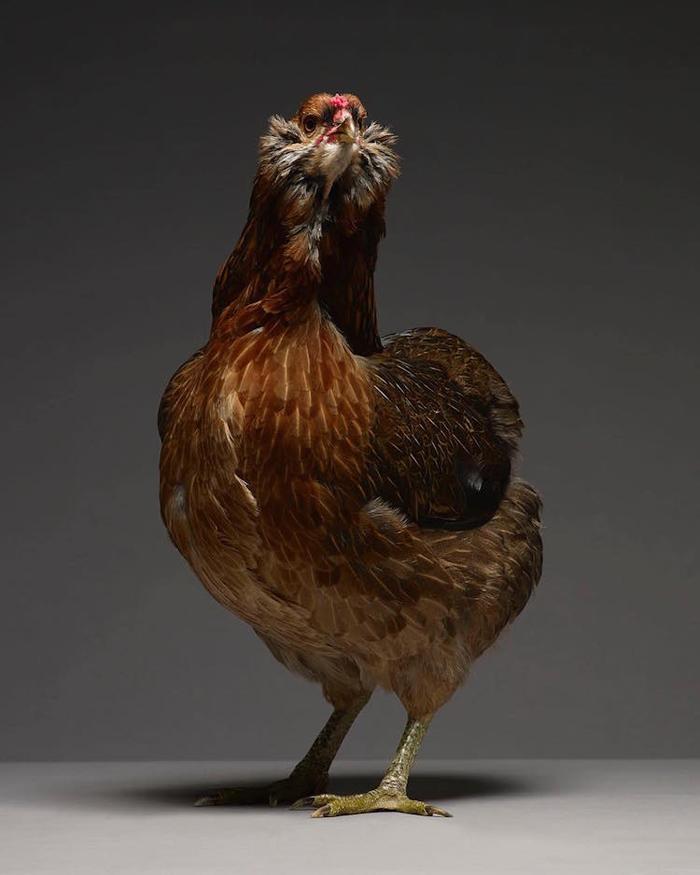 tranchellini monti chicken photobook feathery neck
