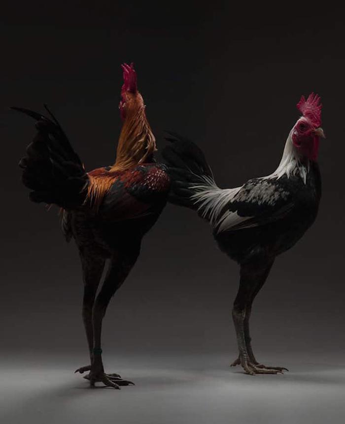 tranchellini monti chicken photobook long-legged