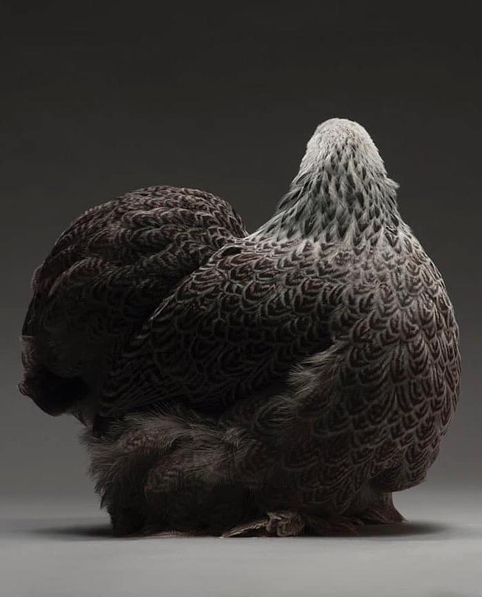 tranchellini monti chicken photobook majestic feathers