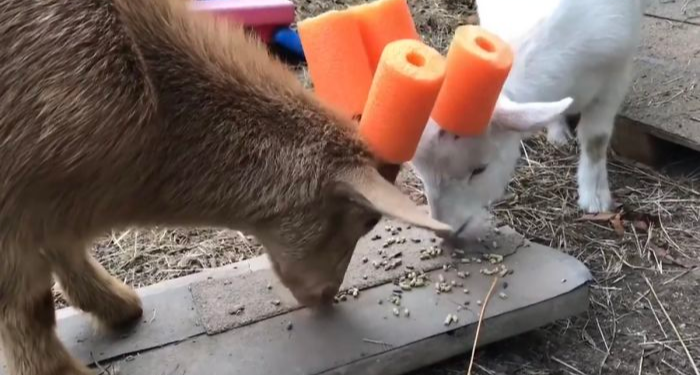 two goats with pool noodles on their horns