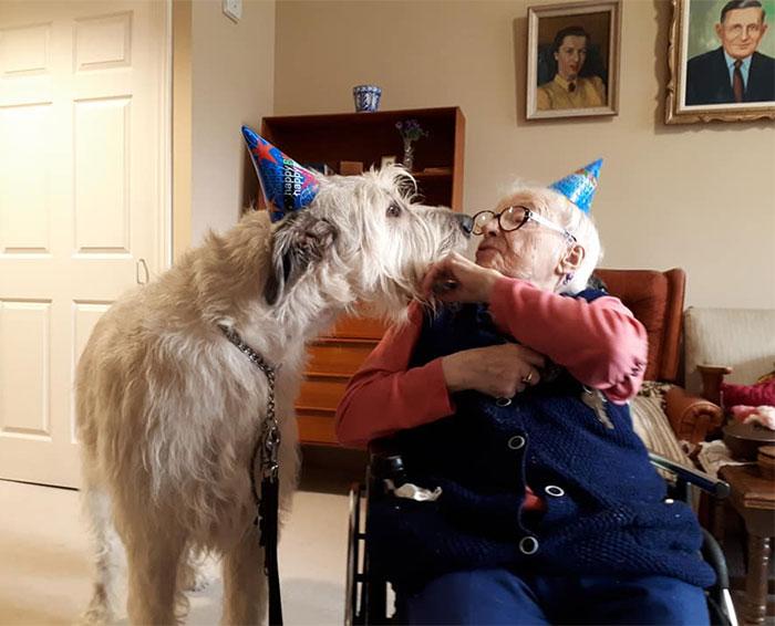 adorable large irish wolfhounds birthday kiss