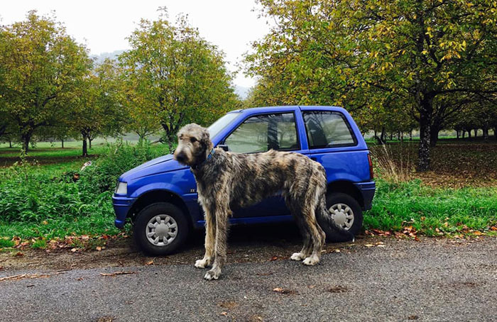 adorable large irish wolfhounds car comparison