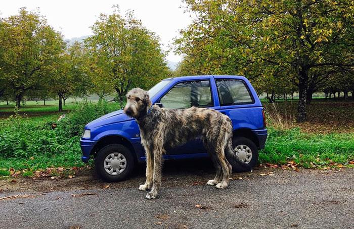 adorable large irish wolfhounds car comparison
