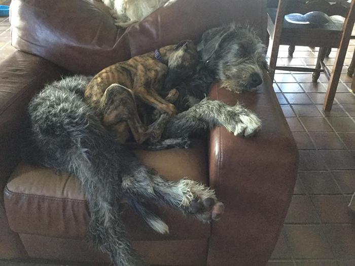 adorable large irish wolfhounds cushion dog
