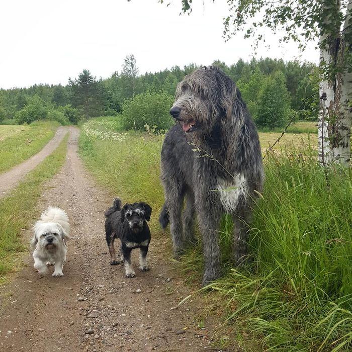 adorable large irish wolfhounds dog comparison