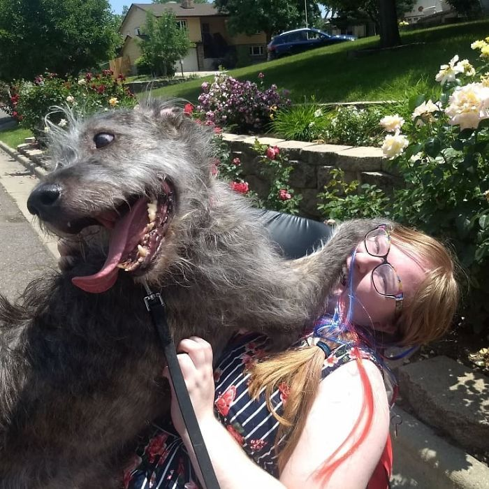 adorable large irish wolfhounds excited