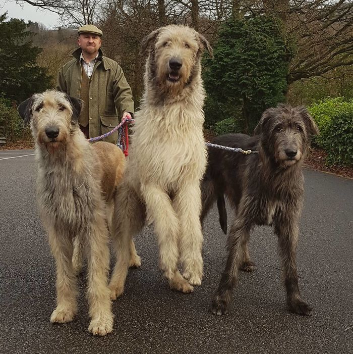 adorable large irish wolfhounds friendly giants