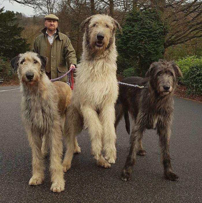 adorable large irish wolfhounds friendly giants