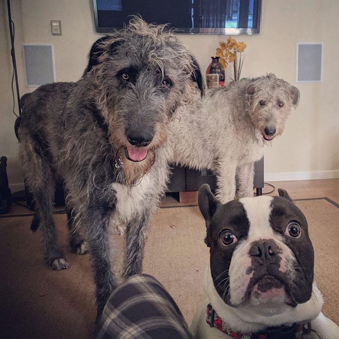adorable large irish wolfhounds gang member