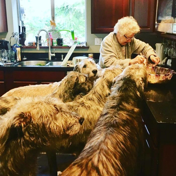 adorable large irish wolfhounds grandma cooking