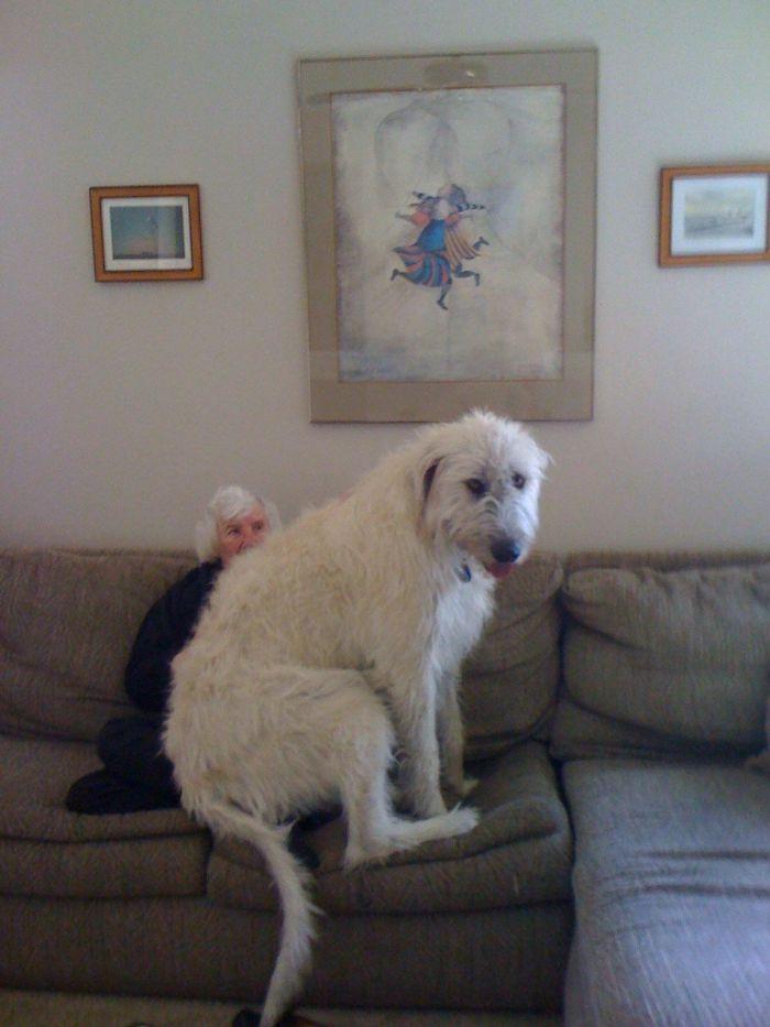 adorable large irish wolfhounds grandma lap
