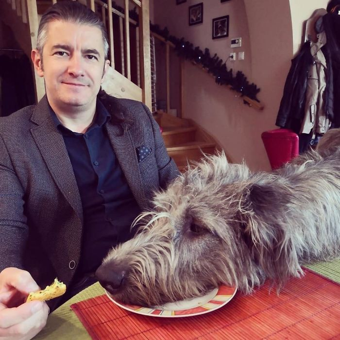 adorable large irish wolfhounds head breakfast