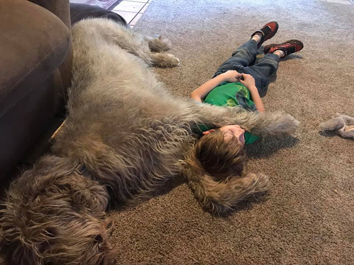 adorable large irish wolfhounds jarvis