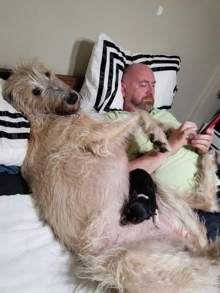 adorable large irish wolfhounds lap dog