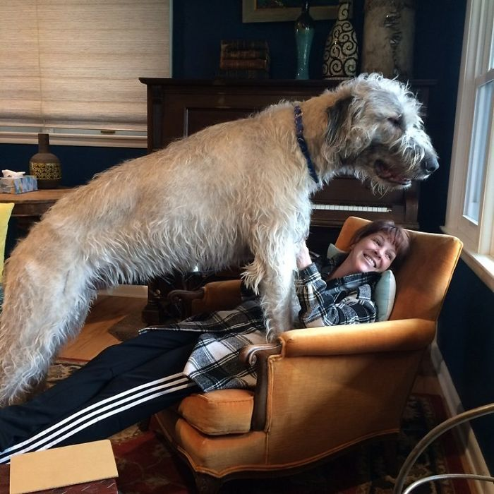 adorable large irish wolfhounds looks out the window