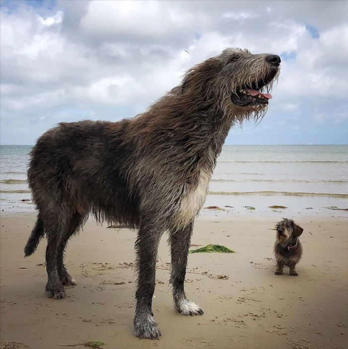adorable large irish wolfhounds puppy comparison