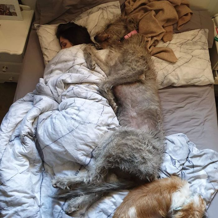 adorable large irish wolfhounds sleeping in bed