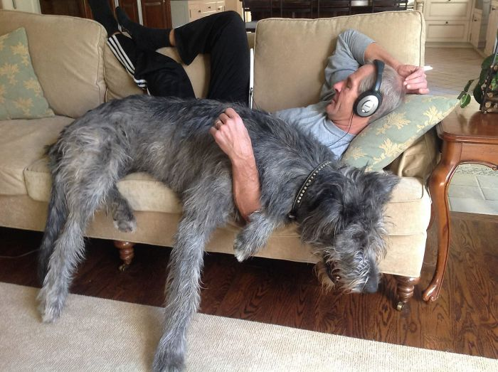 adorable large irish wolfhounds sleeping with owner
