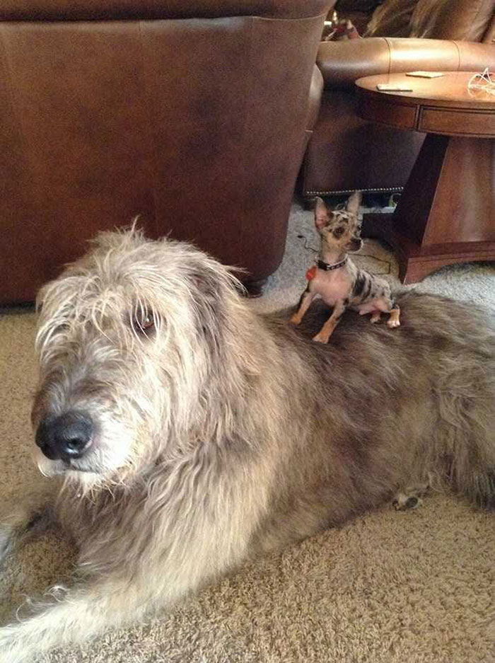 adorable large irish wolfhounds small pup riding