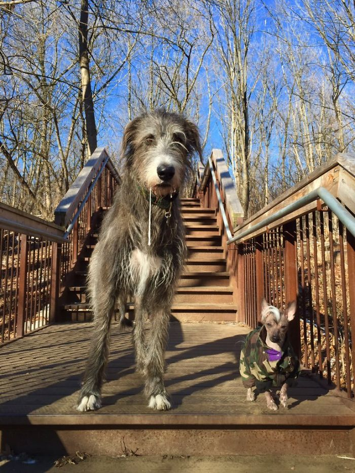 adorable large irish wolfhounds space cowboy