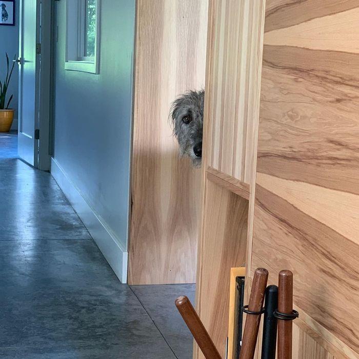 adorable large irish wolfhounds spy