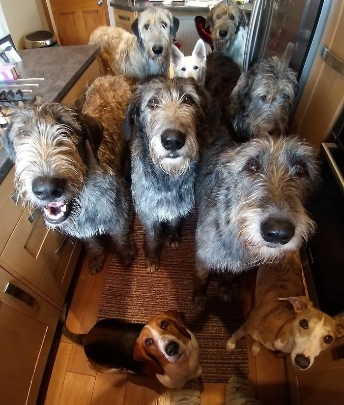 adorable large irish wolfhounds tall breed