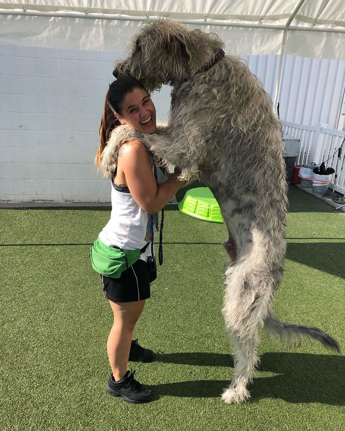 adorable large irish wolfhounds taller than a girl