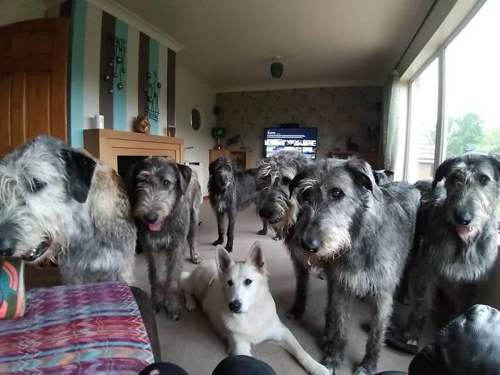 adorable large irish wolfhounds waiting for pizza
