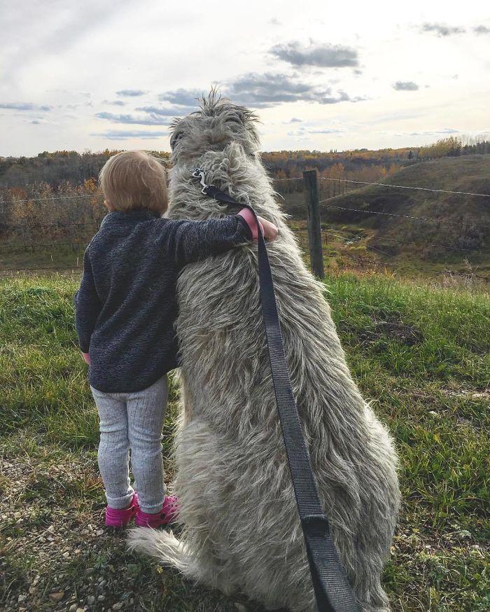 adorable large irish wolfhounds with little boy