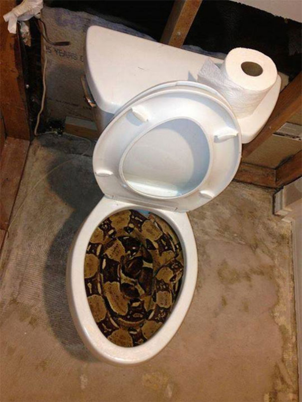 check your toilet for a snake scary animals in Australia