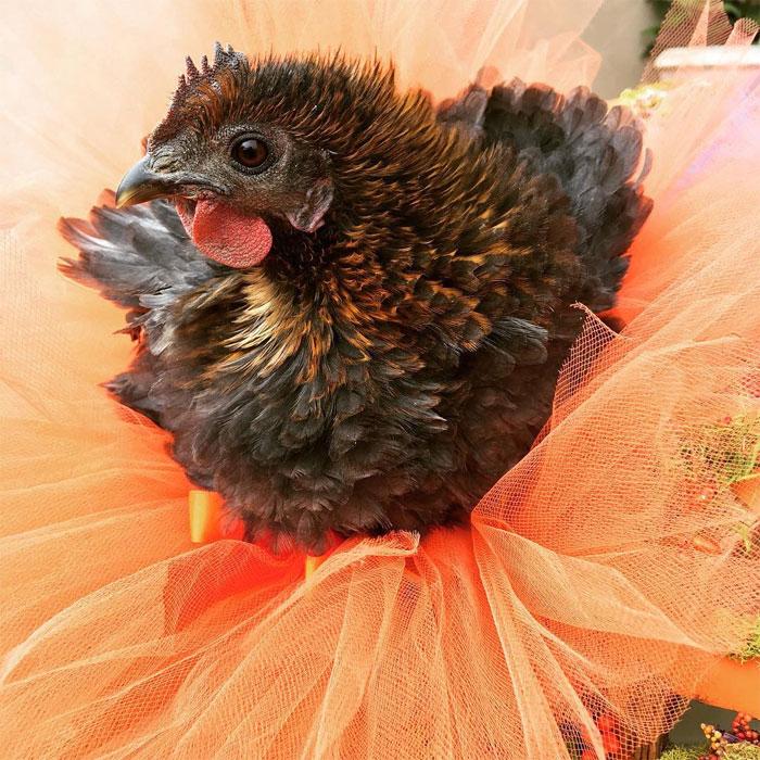 chicken in bright orange tutu skirt