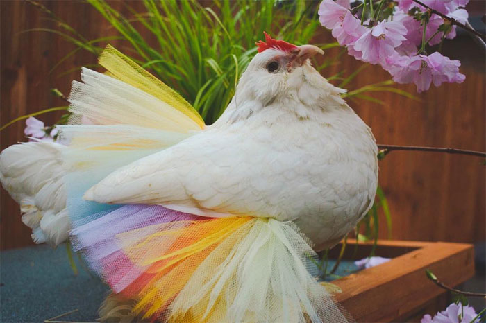 chicken in colorful tutu skirt