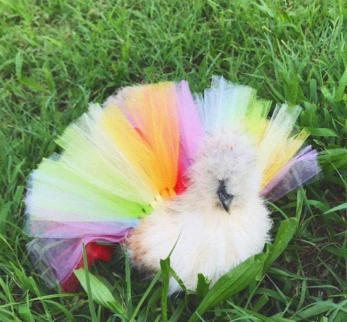 chicken in fashionable tutu skirt
