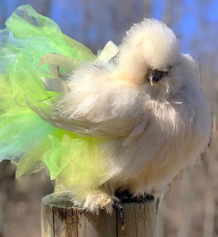 chicken in neon green tutu