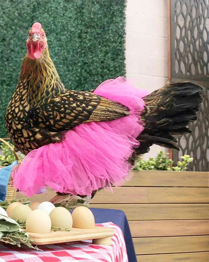 chicken in pink tutu skirt