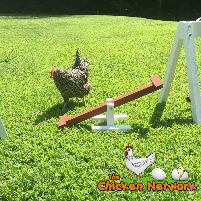 chicken seesaw