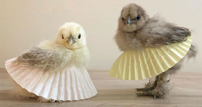 chickens in tutu