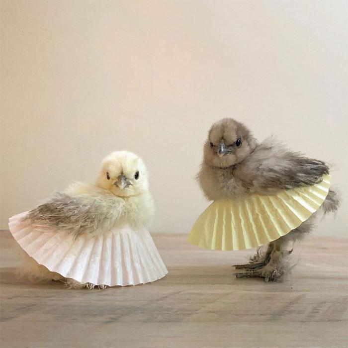 cute chicks in cupcake tutus